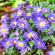 Anemone albastre Blue Shades (15 bulbi), anemone albastre, aspect tufa, bulbi de flori