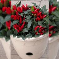 Ardei iute decorativ Ivona(35 seminte) ardei iuti decorativi planta pitica pentru ghivece, Florian