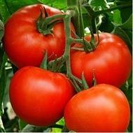 Arletta F1-500sem.-seminte de rosii hibrid pt.sere,solarii si camp de la Seminis