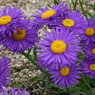 Aster alpinus Violet (in ghiveci de 1 L), rasad de Ochiul Boului cu flori colorate in violet-albastru cu centrul galben