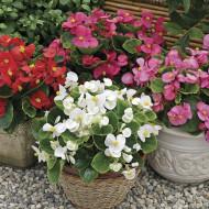 Begonia mix (0,01 g), seminte de plante anuale cu flori albe, roz si rosii, Agrosem