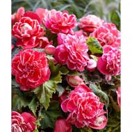 Begonie Camelia (3 bulbi), floare mare, culoare roz cu alb, bulbi de flori