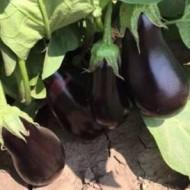 Black Enorma F1 - 1000 sem - Seminte de vinete cu fructe oval-alungite de culoare negru stralucitor ajungand la o greutate de 650 grame si rezistenta buna la temperaturi ridicate de la Takii Seeds