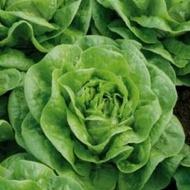 Brighton - 5000 sem - Seminte drajate de salata cu capatana mare frunze semi fine si culoare deschisa prezentand buna toleranta la temperaturi scazute de la Enza Zaden