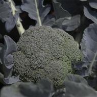 Burney F1 - 1000 sem - Seminte de broccoli ce formeaza inflorescente rotunde solide si structura fina cu o buna rezistenta la boli de la Bejo