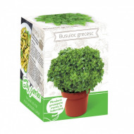 Busuioc grecesc - Kit plante aromatice