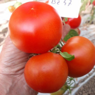 Buzau 47 (1 kg), seminte de tomate romanesti semitimpurii, Agrosem