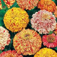 Carciumarese elegans marmorate mix (90 seminte) de flori carciumareasa mix
