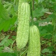 Castravete Amar Momordica Charantia (10 seminte), pentru diabet, de la Florian