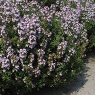 Cimbru de camp sau Lamaioara (Thymus vulgaris) - 0.5 gr - Seminte de Cimbru de camp de la Opal