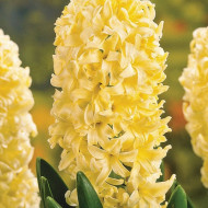 City of Haarlem (3 bulbi), zambile galbene parfumate, bulbi de flori