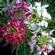 Clema Cleopatrei - Seminte Flori Cleome Spinosa de la Florian