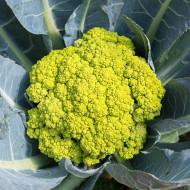 Conopida Macerata Green (300 seminte), conopida verde capatana mare, Agrosem