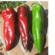 Corner F1 - 100 - Seminte de ardei kapia de tip Corno di toro cu fructe de calitate excelenta de dimensiuni mari forma conica si colorate in rosu aprins la maturitatea de recoltare de la Isi Sementi