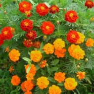 Craite pitice cu flori portocalii (0.4 gr) seminte de craite pitice (Tagetes patula nana), Agrosem