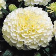 Craite pitice Vanilla (0.05 g) seminte de craite pitice cu flori mari de culoare crem, Agrosem