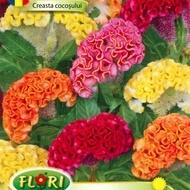 Creasta Cocosului 2  - Seminte Flori Creasta Cocosului de la Florian