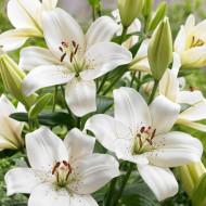 Crin Asiatic White (3 bulbi), crin alb gingas, bulbi de Crini
