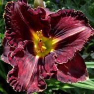 Crin Hemerocallis Purplelicious (ghiveci 1,5 L), crin de o zi cu flori mari, gofrate, culoare visiniu inchis