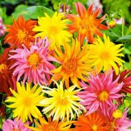 Dalie Cactus Mixed (3 bulbi), mixtura, bulbi de flori