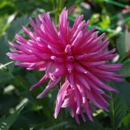 Dalie Cactus Pink (1 bulb), floare roz anuala, bulbi de flori