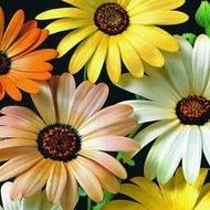 Dimorfoteca - Seminte Flori Dimorfoteca de la Florian