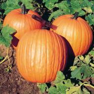 Dovleac Howden (4.000 seminte), seminte dovleac Halloween, fructe sferice, lucioase, portocalii, Agrosem