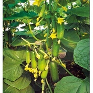 Emek F1 - 1000 sem - Seminte de castraveti cu planta puternica timpurie se poate recolta zilnic si se planteaza in sere si solarii de la Yuksel