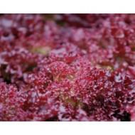 Feska - 5 grame - Seminte de salata tip Lollo Rosa cu fructe ce au o culoare deosebita si un aspect remarcabil prezentand rezistenta la inflorire de la Enza Zaden