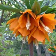 Fritillaria Aurora (1 bulb) floare speciala, bulbi de flori