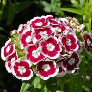 Garofite de gradina Holborn Glory (0,5 g), seminte de garofite de gradina alb cu rosu, Agrosem