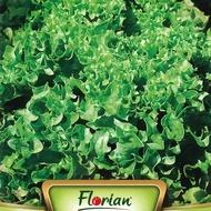 Gentelina - 50 gr - Seminte Salata Creata Soi Timpuriu Gentelina de la Florian