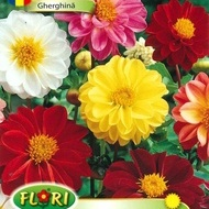 Gherghina Mix - Seminte Flori Gherghina de la Florian