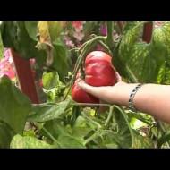 Gigant Monster (30 seminte) rosii gigant tip beefsteak, de sezon lung, rosu-aprins, Rusia