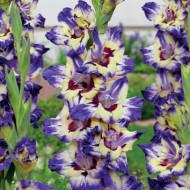 Gladiole Circus Club (7 bulbi), gladiole cu flori mari, intr-o combinatie incredibila de culori pe un fond alb: marginile inmuiate in mov, centrul galben luminos si interiorul maro-roscat, bulbi de flori