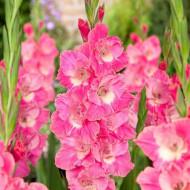 Gladiole Sweet Pink (5 bulbi), gladiole cu flori gofrate in nuante de roz stralucitor si alb, bulbi de flori