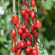 Goji Sweet Berry, rasad de Goji Berry, arbust peren rezistent la seceta, cu fructe mari de 2 cm si gust dulce, Yurta