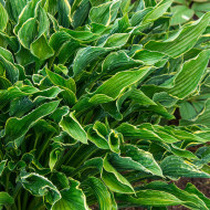 Hosta Praying Hands (ghiveci 1,5 L), planta decorativa cu frunze verzi deosebite, inaltate in sus