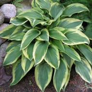Hosta Wolverine (ghiveci 1,5 L), planta decorativa cu frunze verzi-albastrui cu margini aurii