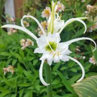 Hymenocallis Ismene Festalis (1 bulb), bulbi de crini paianjen cu flori superbe, albe, bulbi de flori