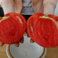 Inima Stacojie (Aleno Sartse) 150 seminte de tomate tip Gigant bulgaresc in forma de inima, IZK Bulgaria