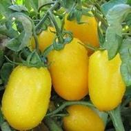 ISI 36657 F1 - 250 sem - Seminte de rosii galbene prunisoara cu crestere determinata si o maturitate semi-timpurie ce se remarca in primul rand prin forma fructelor si prin culoarea de galben intens la maturitate de la Isi Sementi