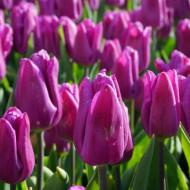 Jazz(8 bulbi), lalele mov, bulbi de flori