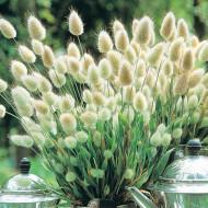 Lagurus Ovatus (450 seminte) flori iarba decorativa Coada Iepurelui Bonny Tail, Laktofol