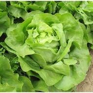 Laruna - 5000 sem - Seminte de salata cu capatana mare de culoare verde proaspat destinata culturilor de vara-toamna prezentand rezistenta la afide de la Enza Zaden