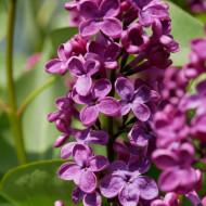 Liliac Andenken an Ludwig Spath, arbust ornamental cu flori grupate in buchete conice, mov închis, plăcut parfumat, 1 arbust de 1,5-2 m inaltime, Yurta