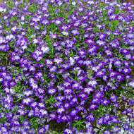 Lobelia Curgatoare albastra (0,5 g), seminte flori curgatoare Lobelia erinus, Agrosel