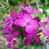 Lunaria (0.5 g), planta bianuala, decorativa prin florile roz si fructele uscate albe-aurii, Horti Tops