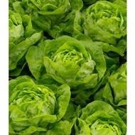 Mahonia - 1000 sem - Seminte de salata drajate cu frunze mari textura neteda si o culoare verde crud ce se remarca prin faptul ca formeaza capatani de dimensiuni mari de la Rijk Zwaan