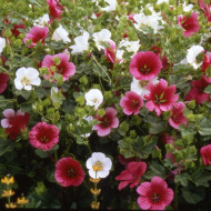 Malope (1 gram) seminte de flori mari colorate, mixtura, Agrosem